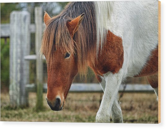 Wood Print featuring the photograph Assateague Wild Horse Susi Sole N2bhs-m by Bill Swartwout Fine Art Photography
