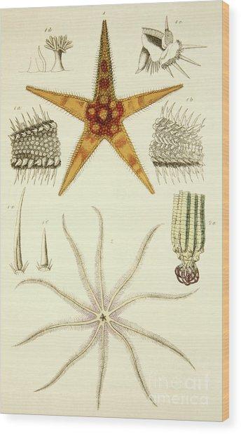 Asterias Aurantiaca And Comatula Carinata, From The Mollusca And Radiata Wood Print