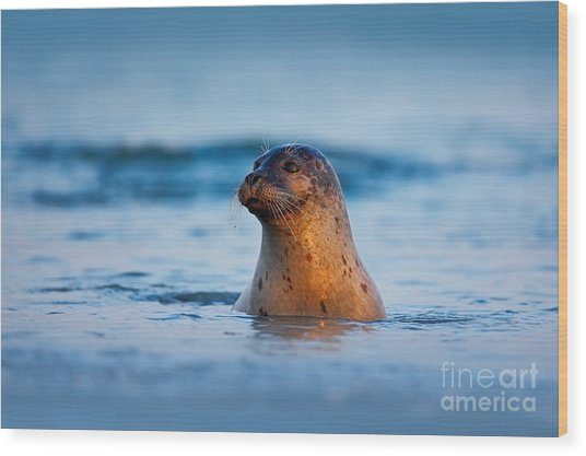 Atlantic Grey Seal, Halichoerus Grypus Wood Print