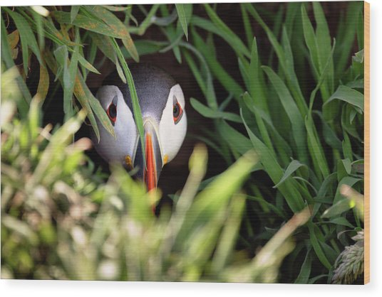 Wood Print featuring the photograph Atlantic Puffin In Burrow by Elliott Coleman