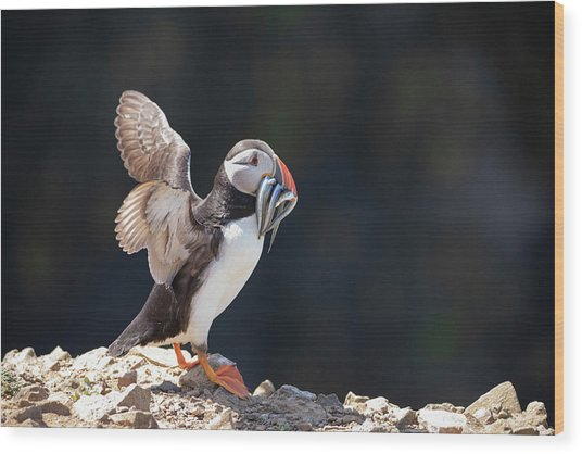 Wood Print featuring the photograph Atlantic Puffin With Sand Eels by Elliott Coleman