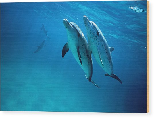 Atlantic Spotted Dolphins, Stenella Wood Print by Tobias Bernhard