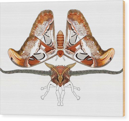 Atlas Moth3 Wood Print