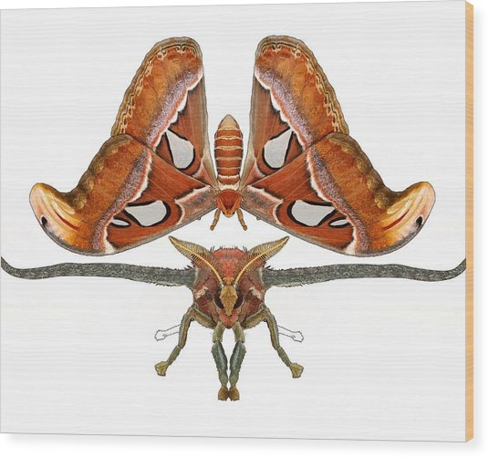 Atlas Moth5 Wood Print