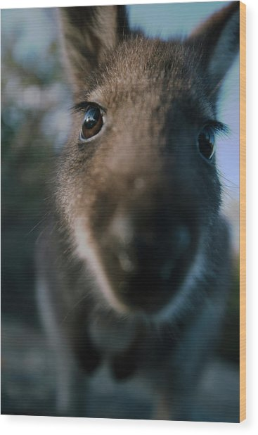 Australian Bush Wallaby Outside During The Day. Wood Print