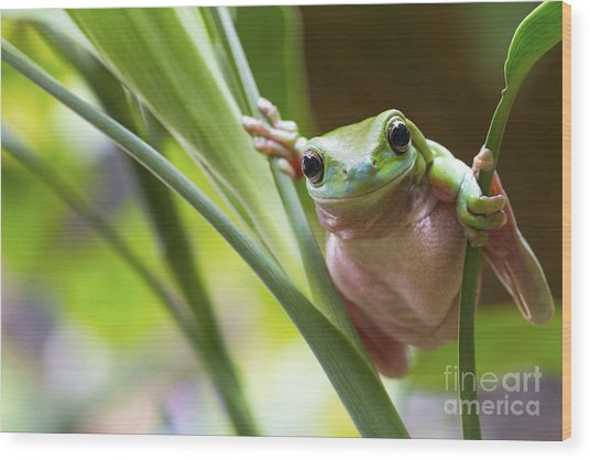 Australian Green Tree Frog On A Leaf Wood Print by Andrew Lam