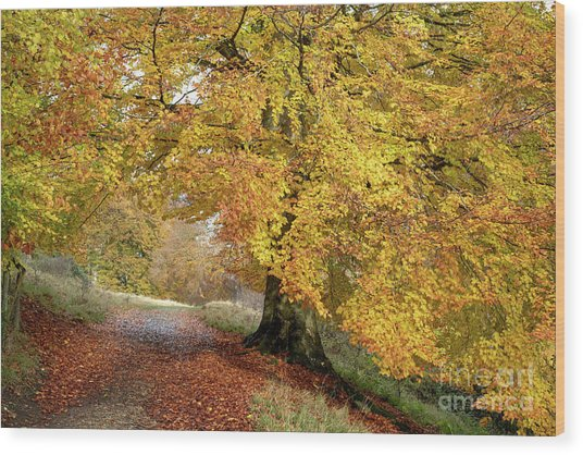 Autumn Beech Walk Wood Print by Tim Gainey