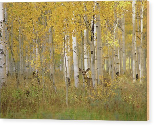 Autumn In Uinta National Forest. A Deer Wood Print
