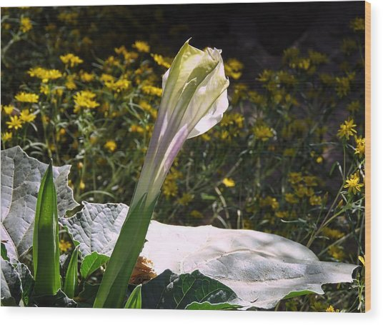 Wood Print featuring the photograph Awakening - Sacred Datura by Judy Kennedy