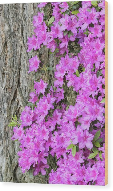 Azalea Blooms Wood Print by William Sutton