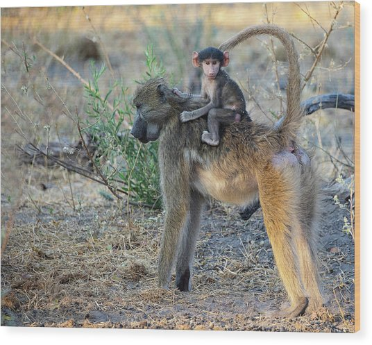 Baboon And Baby Wood Print