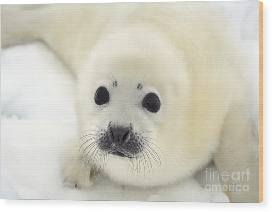 Baby Harp Seal Pup On Ice Of The White Wood Print by Vladimir Melnik