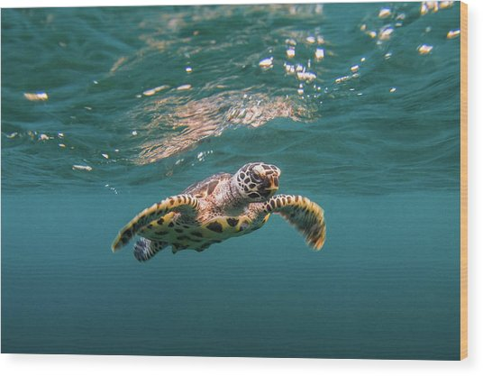 Baby Hawksbill Sea Turtle Swims With Wood Print by Sirachai Arunrugstichai