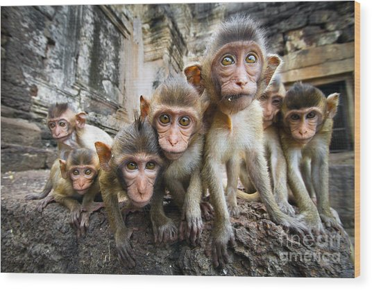 Baby Monkeys Are Curious,lopburi Wood Print by Jeep2499