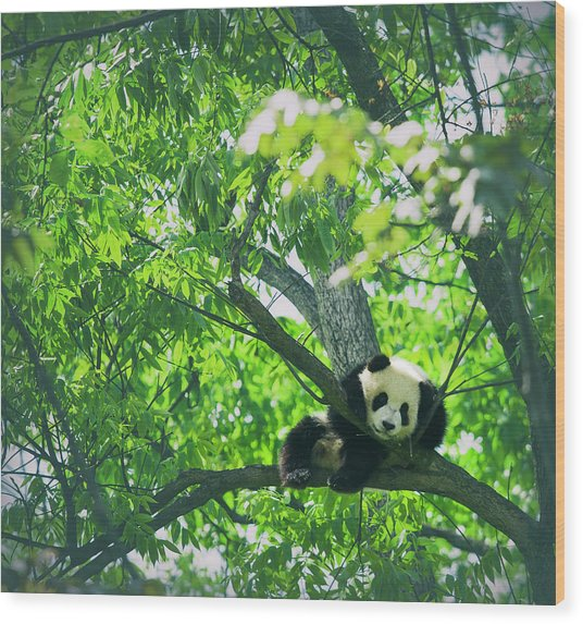 Baby Panda Resting On A Tree Wood Print by Mediaproduction