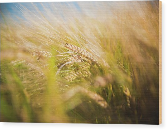 Background Of Ears Of Wheat In A Sunny Field. Wood Print