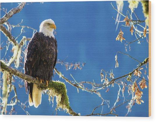 Backlit Bald Eagle In Squamish Wood Print