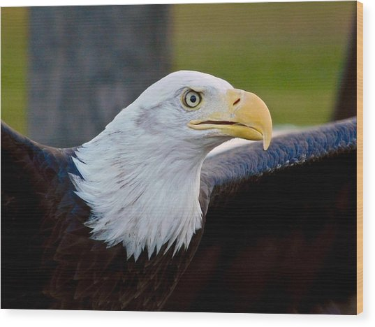 Wood Print featuring the photograph Bald Eagle by Dan Miller