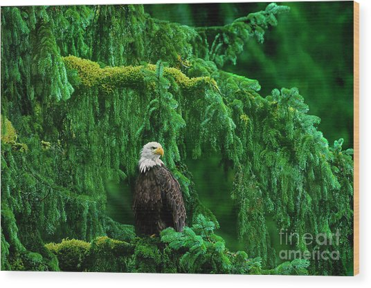 Bald Eagle In Temperate Rainforest Alaska Endangered Species Wood Print