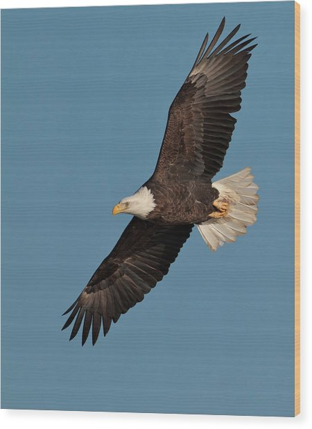 Bald Eagle Wood Print by Straublund Photography