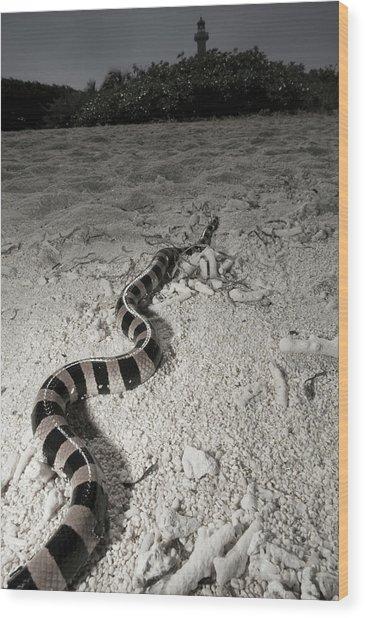 Banded Sea Krait Laticauda Colubrina Wood Print