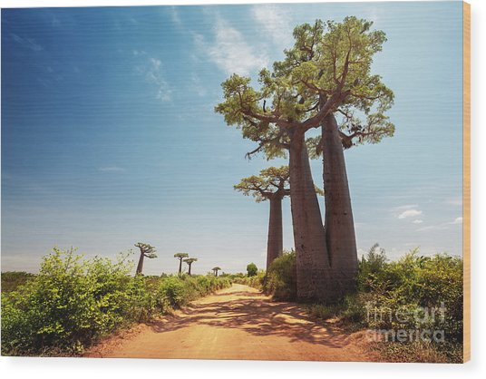 Baobab Trees Along The Unpaved Red Road Wood Print