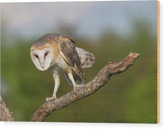 Barn Owl 5151801 Wood Print