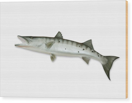 Barracuda With Clipping Path Wood Print by Georgepeters