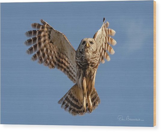 Barred Owl In Flight 0130 Wood Print