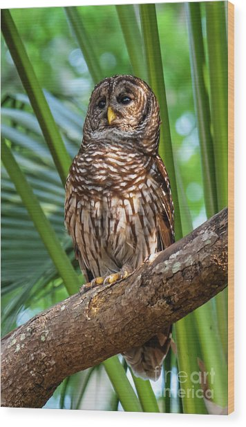 Barred Owl On Perch Wood Print
