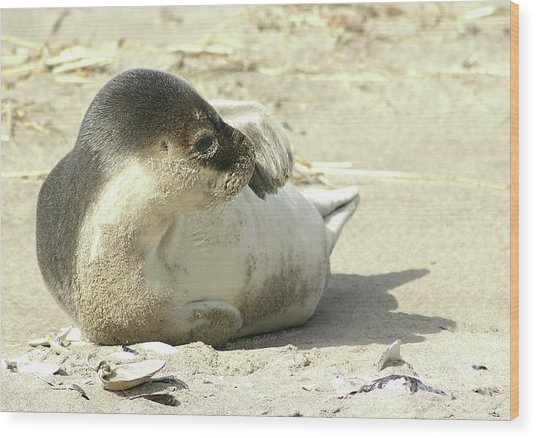 Beach Seal Wood Print