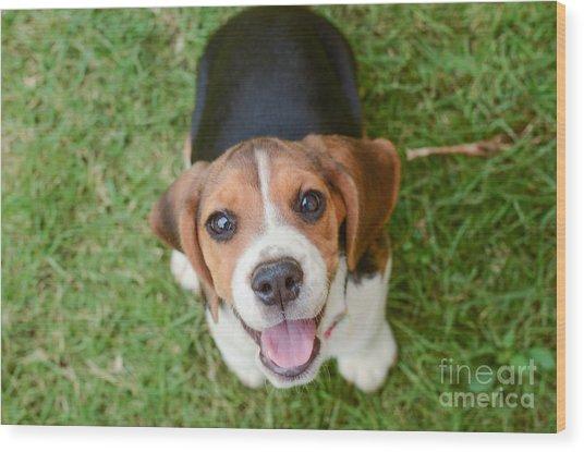 Beagle Puppy Sitting On Green Grass Wood Print by Mr.es