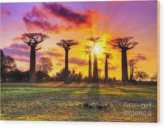 Beautiful Baobab Trees At Sunset At The Wood Print