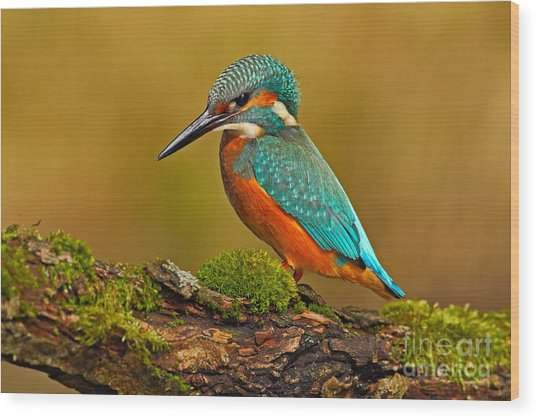 Beautiful Kingfisher With Clear Green Wood Print