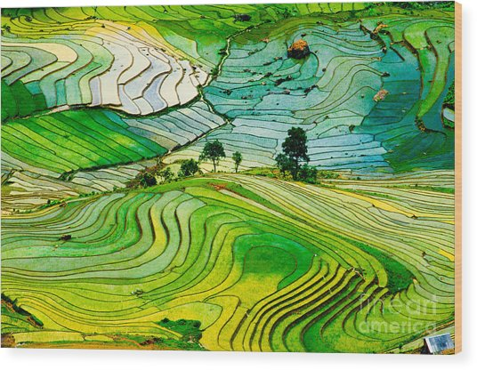 Beautiful Landscape About Terraced Rice Wood Print
