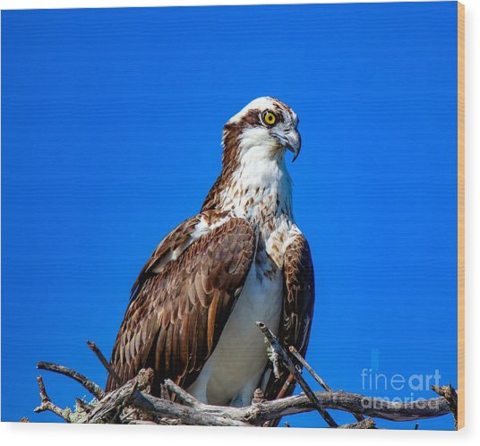 Beautiful Osprey Wood Print