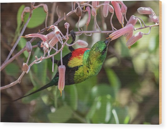 Beautiful Sunbird Wood Print