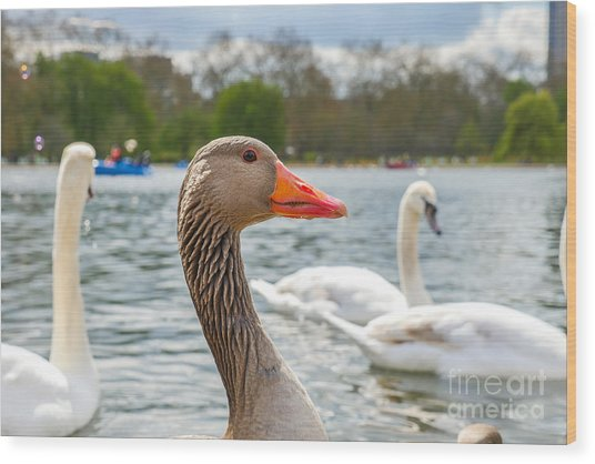 Beautiful Young Swans In Lake Wildlife Wood Print