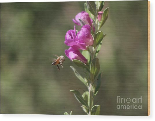 Bee Flying Towards Ultra Violet Texas Ranger Flower Wood Print