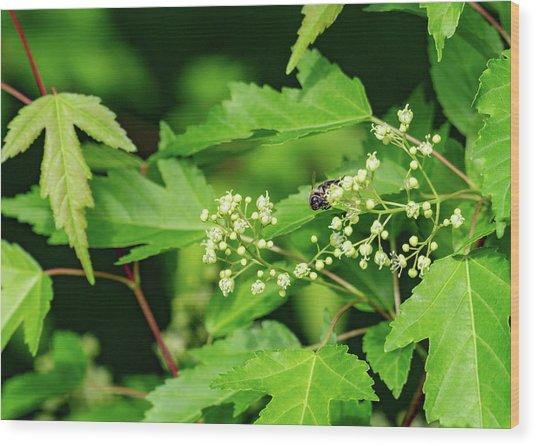Bee On Amur Maple 2 Wood Print