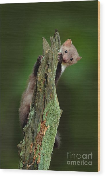 Beech Marten, Martes Foina, With Clear Wood Print