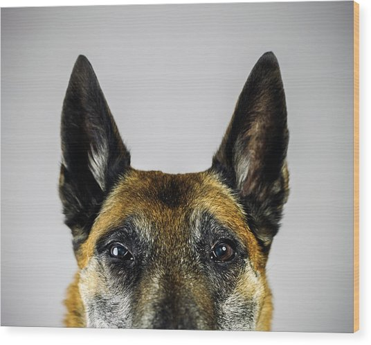 Belgian Sheperd Malinois Dog Looking At Wood Print by Joan Vicent Cantó Roig