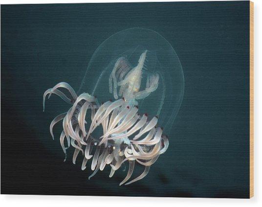 Bell Medusa Polyorchis Penicillatus Wood Print by Jeff Rotman