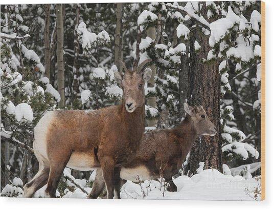 Bighorn Sheep In Deep Snow Wood Print