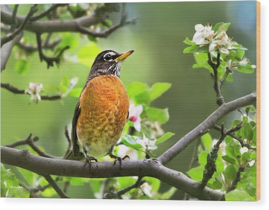 Birds - American Robin - Nature's Alarm Clock Wood Print