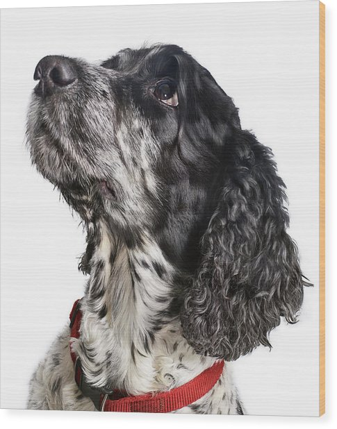 Black And White Cocker Spaniel Looking Wood Print