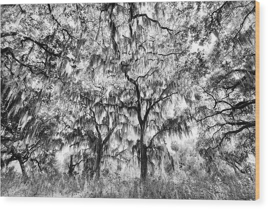 Black And White Of Live Oaks Draped Wood Print by Adam Jones