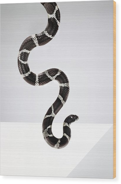 Black And White Striped Snake In The Wood Print