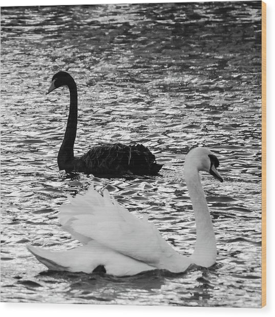 Black And White Swans Wood Print