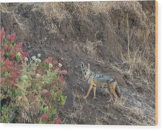 Wood Print featuring the photograph Black Backed Jackal by Alex Lapidus